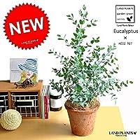 LAND PLANTS 観葉植物 ユーカリ(グニー) 茶色 モスポット トール ラウンド型 テラコッタ