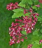 Blut-Johannisbeere | Red Flowering Currant | 10 Samen