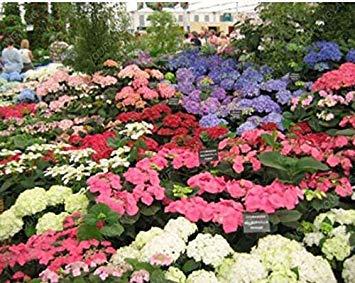 VISTARIC 100 Pcs Clematis Graines de plantes Belle Paillage Graines de fleurs Bonsai ou un pot de fleurs vivaces pour jardin Mix Couleurs 17