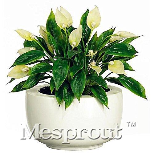 100Pcs Spathiphyllum Graines en pot semences de fleurs Graines Bonsai plantes Couleurs mélangées Germination Taux 95% Cultivez Seeds * Radiation Absorption