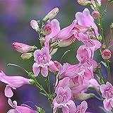 Semillas de Flores Paisaje para,Flores Semillas Planta Bonsai,Cuatro Estaciones, Flores vivas fáciles, Especies de Flores de Sauce Campana de pesca-500grain