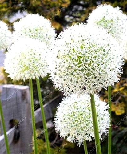 100 PCS/Sac oignon Graines géant Allium Graines Multicolor Balcon Fleurs belles plantes en pot de jardin maison multicolor
