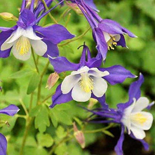 Wingbind 50 Pcs/Paquet Colombine Géant Star Graines à Croître, Toute l'année Autour de Easy-Plant Learn Curve Félin Graines de Fleur de Griffe Parfumée Organic Home Garden