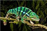 Poster 100 x 70 cm: Regenbogen Panther-Chamäleon von David