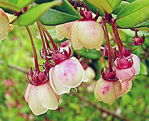 Ugni molinae | Chilean Guava | Strawberry Myrtle | 10_Seeds