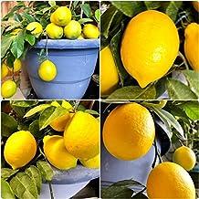 "Meyer Lemon Tree 6"" to 10"" Live Plant - No Shipping to CA, AZ, TX, LA, MS, AL, GA, FL, SC"