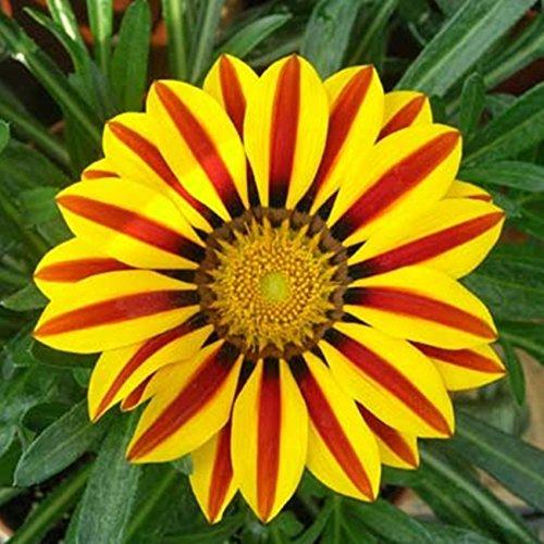 100Seeds / sac Gazania rigens graines, Graines de fleurs Pour Bonsai Garden, Chrysanthemum sementes de flores sementes *