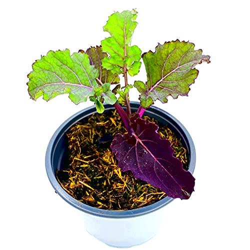 ROSENKOHL Flower Sprout BRASSICA OLERACEA VAR. GEMMIFERA Gemüse Pflanze 2stk.