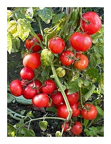 Tomate Dwarf Window Box Red - Tomate cerise rouge - 50 graines