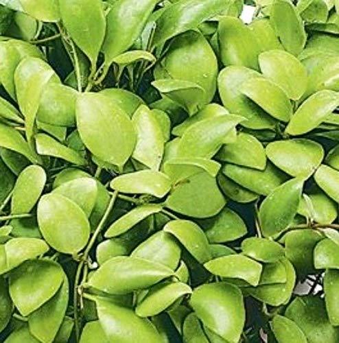 "Generic Hoya Sulawesi, verwurzelte Pflanze in 4\"" Topf, ähnlich wie pic # 1-2"
