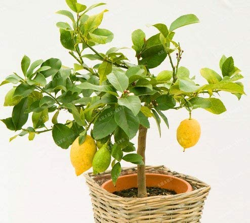 New Lemon Tree 100+ Seeds - Citrus × Limón