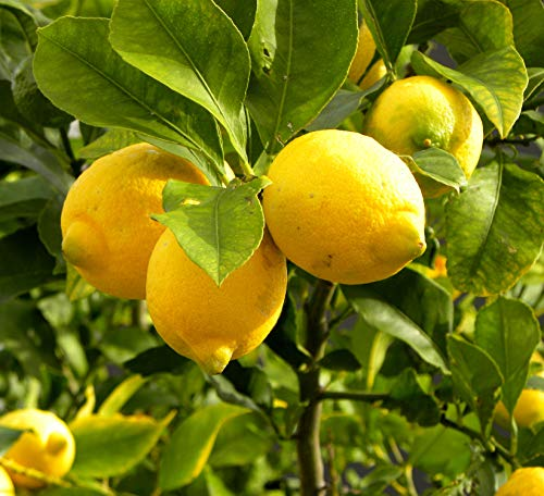 20pcs Lemon Tree Seeds Fruit Seeds for Home Garden Bonsai Plant