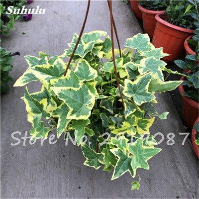 Pearl Chlorophytum Seeds 100 Pcs Hanging type de pot Chlorophytum fleurs Plantes d'intérieur air frais jardin résistant au froid 14