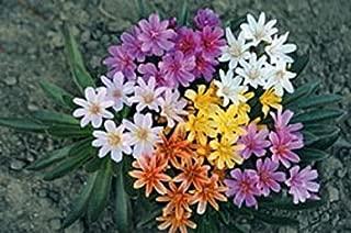 20 Lewisia Rainbow Hybrids Mix Lewisia