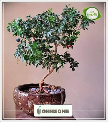 Seedsown Bonsai Semillas adecuados Murraya paniculata cremoso de color. Imported Bonsai Seeds adecuados Seed