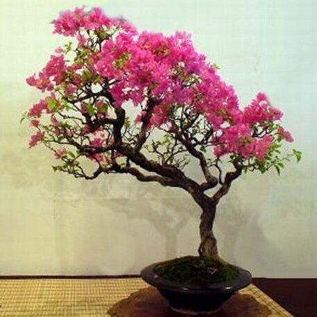 100 piezas Crape flores de mirto semillas de semillas de árboles bonsai estilo chino