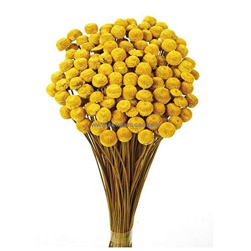 Artipistilos Botao Preservado 25 Gramos X 45 Cm - Mostaza - Flores Preservadas