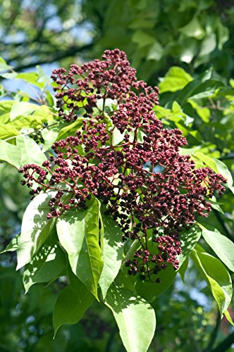 Bienenbaum Euodia hupehensis 200 Samen