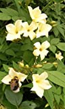 Jasmine officinale Clotted Cream climbing plant rich cream scented summer flowers popular with bees deciduous 1 litre pot