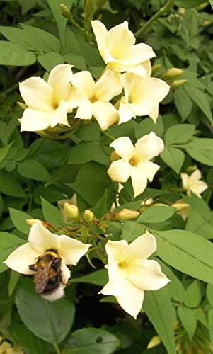 Jasmine officinale Clotted Cream Climbing Plant Rich Cream Scented Summer Flowers Popular with Bees 1 Litre Pot