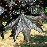 Acer platanoides 'Crimson King' | Norway Maple | Ornamental Garden Tree | 5-6ft