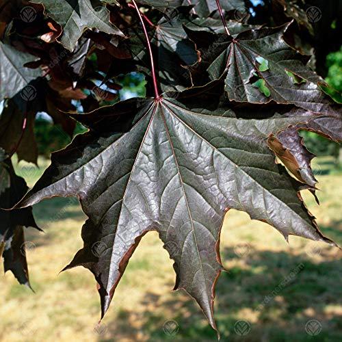 Acer platanoides 'Crimson King'   Norway Maple   Ornamental Garden Tree   5-6ft