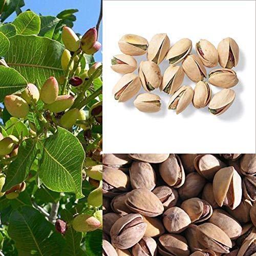 Portal Cool Ãrbol de nueces Semillas de pistachos Pistacia Semillas de árboles frutales raras Planta tropical Semillas de frutos secos