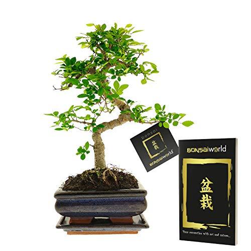 Bonsaiworld Bonsai Starter Kit - S-Form mit Bonsaibuch - Ca. 10 Jahre alt (Höhe: ca. 30 cm) - Inklusive japanischem Keramiktopf und Untersetzer - Pflegeleicht, tolle Dekoration für Wohnzimmer & Büro