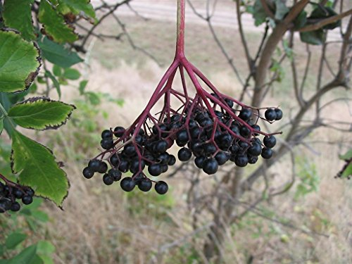 Asklepios-seeds® - 500 Samen Sambucus nigra, Schwarze Holunder