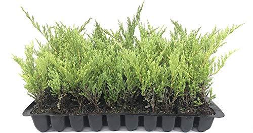 Juniper Andorra Compacta - 30 Live Plants - Juniperus Horizontalis - Drought Tolerant Cold Hardy Evergreen Ground Cover