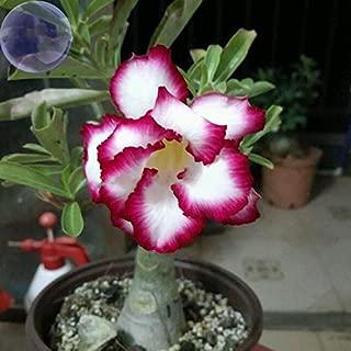 YoYoBoo DD 2016 Hot Rose White Red Edge 'Cyclone' Double Adenium Desert Rose