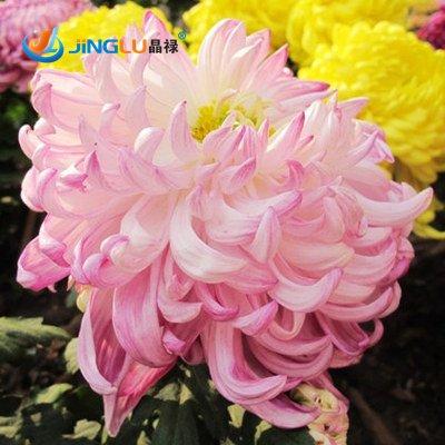 50 Pcs / Sac, chrysanthème graines, les plantes en pot Diy, Indoor / Outdoor Pot Seed Germination taux de 95%