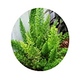 Foxtail Fern Cat Tail Asparagus Tropical Drought Tolerant Unique Easy to Grow Live Plant Mature Size 8 Inch Pot Emerald R