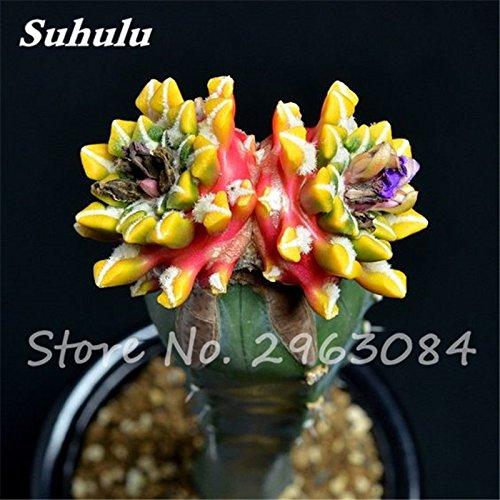 comestibles Semillas belleza de la fruta de la planta vegeable hierbas 2 /¡Gran venta 50 PC semillas de cactus raras plantas suculentas mini jard/ín Plantar
