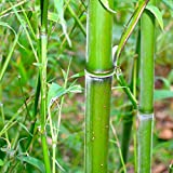 Semillas de Bambú Medicinal 20 Semillas de Bambusa Arundinacea
