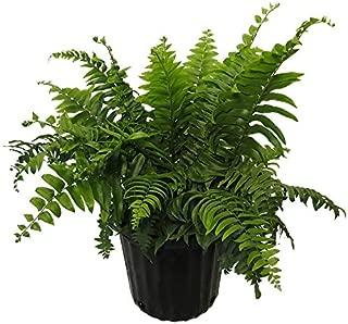 AMERICAN PLANT EXCHANGE Macho