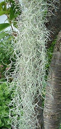 'Spanish Moss Terrarium Tillandsia Usneoides' Plant