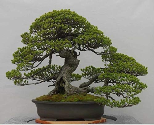 Bonsai Tree Japanese Black Pine Seeds - 20+ Seeds to Grow - Must Have Bonsai Specimen