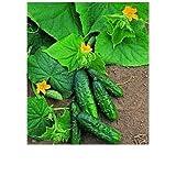Souked Organic Sweet fruits Gherkin Pickling Vegetables 50pcs Cucumber Seeds