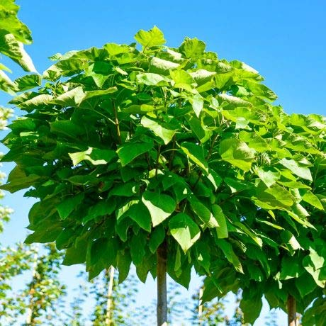 Qulista Samenhaus - Rarität Kugel Trompetenbaum schnell wachsend Baumsamen winterhart mehrjährig