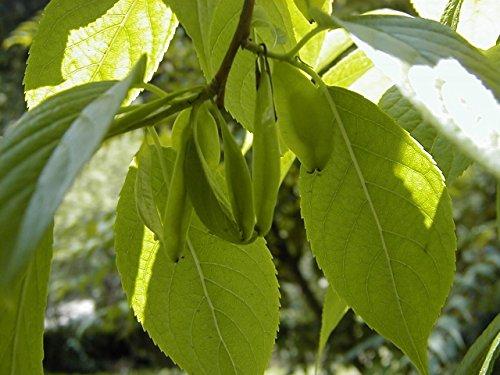 5 Samen von Eucommia ulmoides HARDY Gummibaum-Samen