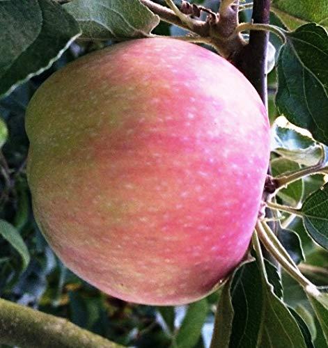 Säulenapfel Canada, Apfelbaum 4 jährig ca.160 cm. im Container.Säulen Spätsommer Äpfel