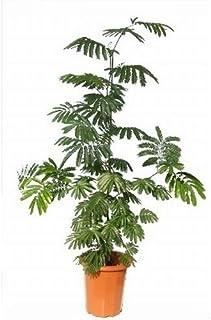 プランツネット 観葉植物 ネムノキ エバーフレッシュ 10号 K0101382