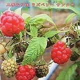 二季なり性 ラズベリーサンタナ6号ポット苗 果樹苗木 果樹苗 キイチゴ 苗