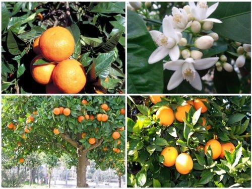 Kalt hardy Bitterorange/Marmelade Orangenbaum (Citrus aurantium) - 25 Samen