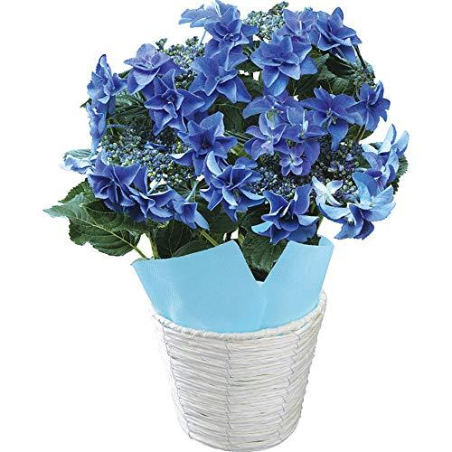 母の日 ギフト プレゼント 花 アジサイ 鉢植え 色移り アジサイ フェアリーアイ ブルー