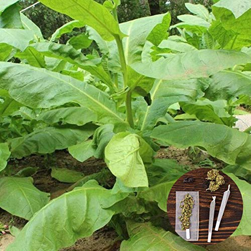 clifcragrocl Semillas orgánicas de Virginia, tabaco, Heirloom, 30 unidades