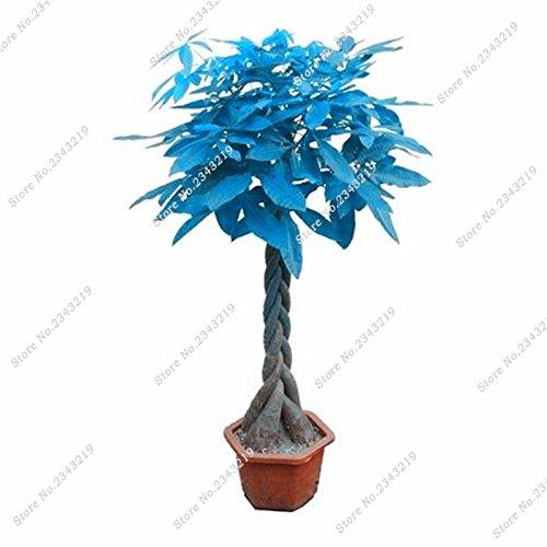 Bleu Pachira Seed Money Tree Balcon et cour Bonsaï Plantes Diy jardin Ménage Pachira Aquatica Semillas 3 pièces