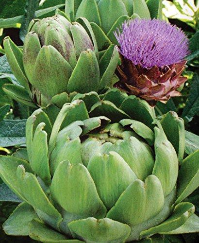 """Artischocke""""Vert de Provence"""" - kalorienarmes, prophylaktisches Gemüse - 20 samen"""