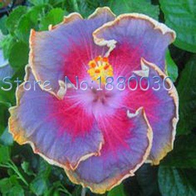 Belles 24 couleurs différentes bonsaï japonais fleurs graines d'hibiscus en pot cour de jardin de 50PCS